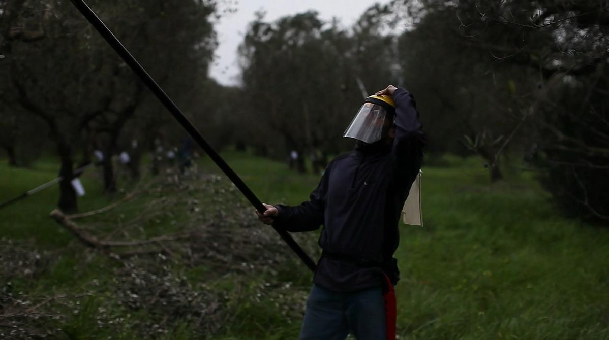 Campionato regionale di potatura dell'ulivo a vaso policonico, Puglia